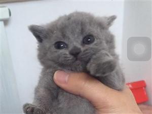 可爱的蓝猫宝宝出售