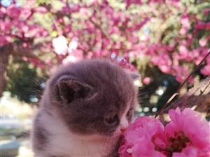 出售家养高品质英短蓝猫,蓝白