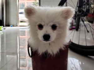 博美犬三��月