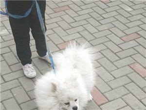 出售一条一岁左右博美公狗