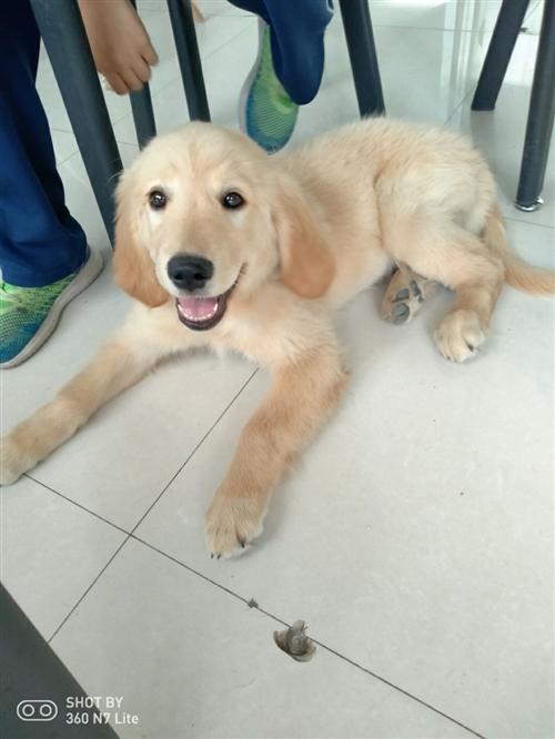 三个月大,双血统,金毛,带狗粮饭盆,玩具,狗绳!