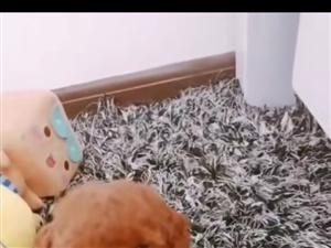出售自家的一只可�圪u萌的泰迪幼犬男生一枚,�F已���月,紫�t色,品相好,毛量大,�r格不高,有喜�g的私聊...