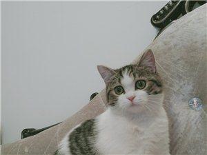 自己养的  都一年差一两个月  没配过种   身体健康  价格便宜  蓝猫公的   美短加白是母的 ...
