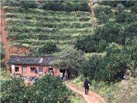 现有位于黄坳村的果山转让,可种植1000株左右果树,现在种植有400株4年树龄的芙蓉李,今年已正常开...