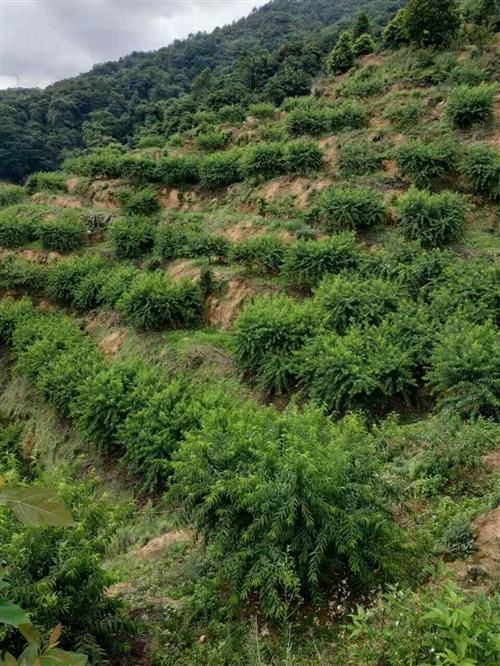 鹰嘴桃果山位于三标香木坑(离县城10来分钟车程,800多棵鹰嘴桃果树,果树是六年大树了,因为一直以来...
