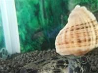 斑马狗头鱼活鱼转让  一条  十厘米