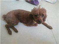 我有一条泰迪女宝宝,寻找一位喜欢狗狗的主人,本人因有事无法养它,所以把它出卖,,还没有谈恋爱的,听话...