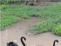 黑天鵝,體態優美,易于養殖。澳大利亞特產。黑羽紅嘴,極具觀賞價值。是旅游景點、城市小區、公園、山莊、...
