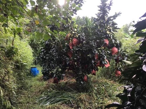 自家种的梅州蜜柚(有红肉.白肉.黄肉)产地直供,新鲜,[强]甜、水份足、皮薄。[抱拳][抱拳][抱拳...