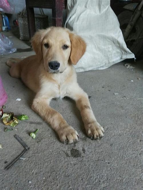 四個月了,金毛犬,疫苗已打全,有意者聯系電話15382304863   家在關津鄉牛灣村委牛灣小學附...