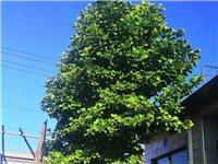 出售白玉蘭樹一顆,周長五十三左右,直徑在十五公分左右。自家種的,風水寶樹。
