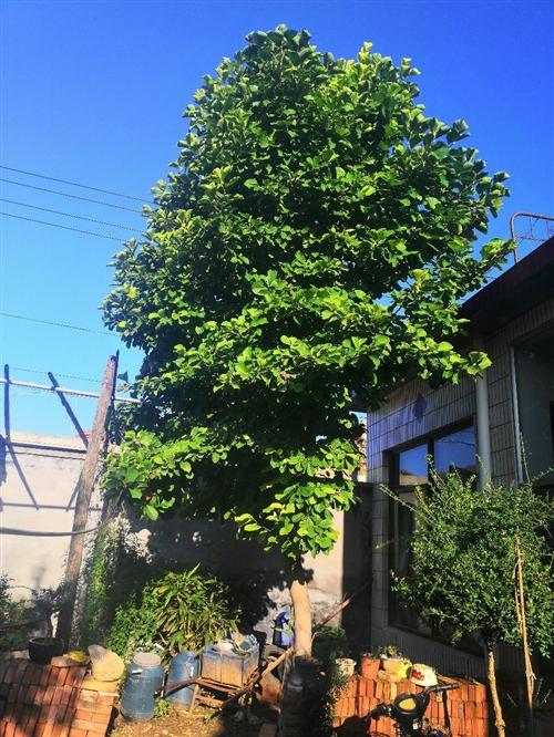 出售白玉兰树一颗,周长五十三左右,直径在十五公分左右。自家种的,风水宝树。