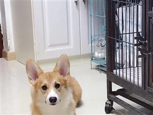 瓜州本地出售科基犬两只,一公一母快一岁!