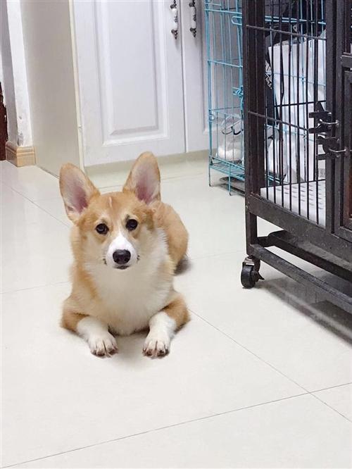 瓜州本地出售科基犬兩只,一公一母快一歲!