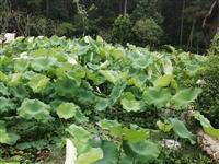 吉潭境内租一片500到1000棵脐橙树的位置,田或者山都行。要求水路方便。13767711457潘