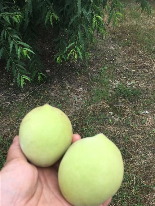 位于长布村桃园出售,占地26亩共1100株第四年桃树,有意者联系
