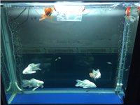 1.2米长鱼缸出售,也可以和鱼一起出售,鱼缸900元,要鱼的话价格私聊