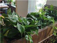 大量绿植出售,大盆绿萝原价15,现价8元,大盆景原价三百,现价100。