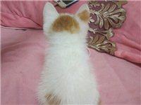 小償出售一只田園貓 五粉 無病無蘚 有想要的聯系我
