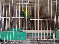 虎皮鸚鵡一家三只,沒時間照顧,轉讓給喜歡的人。