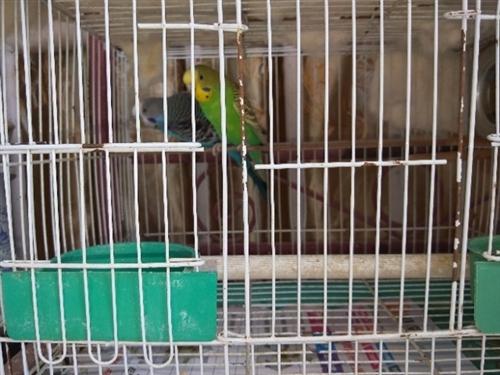 虎皮鹦鹉一家三只,没时间照顾,转让给喜欢的人。