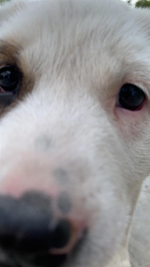 出售4条种狗,两条柯基,一条法斗,一条京巴,颜值爆棚!有需要者联系17338399972微信同步,非...
