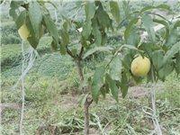 200多畝黃桃、脆李 果園基地便價轉讓,種植兩年,已試結果,產業路完善,土地流轉金每年每畝240元。