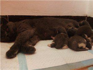 家里两窝蓝猫差五天一起出生,总共十只,蓝白、纯蓝都有,有想养猫的联系,猫仔在儋州,猫爸妈照片找我要,...