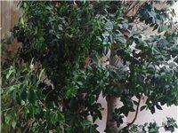 2010开始养的大榕树,长的太大,太占地方,树叶茂盛,欢迎个人单位来认领