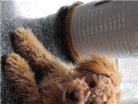 一歲多貴賓犬!健康!吃吃專用狗糧!由于不方便繼續馴養,讓給愛狗人士!