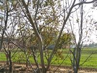 现出售20颗7年龄的核桃树,结果多,皮薄肉多!