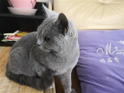 纯正招财英国蓝猫,6月大,现因工作原因无遐照顾,诚寻新主人,带猫砂盆等嫁妆!