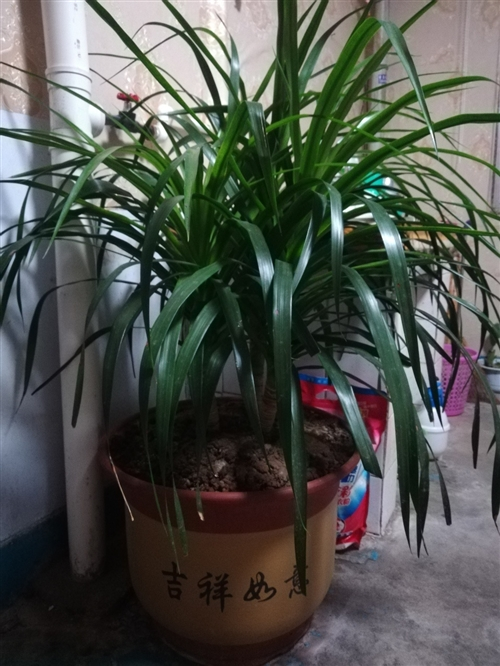 150       3顆龍血樹  高60-70厘米     50   超大盆綠蘿   帶蓄水盆  ...