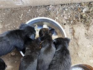 俩个月小土狗出售,聪明,活泼,联系电话15563803903