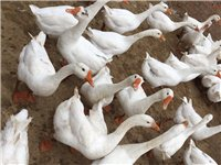 急售,急售,急售!自己屋里散养绿色生态有机白鹅,代卖也行,因本人临时有急事需要去外地,所以现在要卖自...
