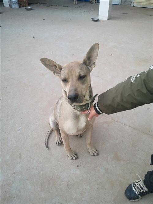 家里面有品种犬,狼青犬4头,现在要出售两头小母犬有30多斤重!好喂养不挑食!