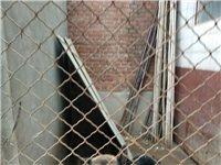 3歲牧羊犬出售,身高體壯!價格面議!電話:13483194798     地址:縣城西
