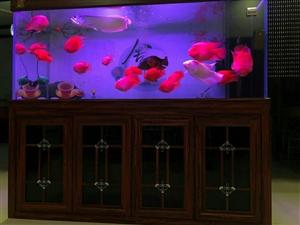 银龙鱼,观赏鱼,热带鱼,六十公分左右宽身银龙,500,鹦鹉元宝25公分左右四条,400元,28公分左...