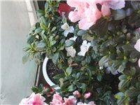 出售两盆自养青锦旗杜鹃,此品种杜鹃花色艳丽,花大,左图开粉白色花,右图开多色花,营口没有卖这种稀有杜...