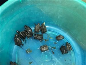 草龟苗,三元一只,大只的7元,大量有货,全品好养,联系13822579526