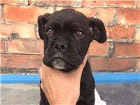 家養雙血統卡斯羅羅威納幼犬出售,身體健康疫苗驅蟲全。喜歡的抓緊時間搶購。