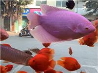 出售各类中高低端热带鱼,冷水鱼,品牌鱼缸,品种多,价格优,欢迎大家到店观赏。