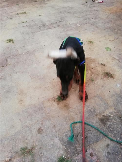 出售杜宾犬一只6个月大母