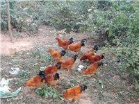 老爸在家放养的腌鸡开卖了[微笑],肉质细嫩,鸡白天都出去外面活动,晚上才回来,所以肉质比一般的鸡肉更...