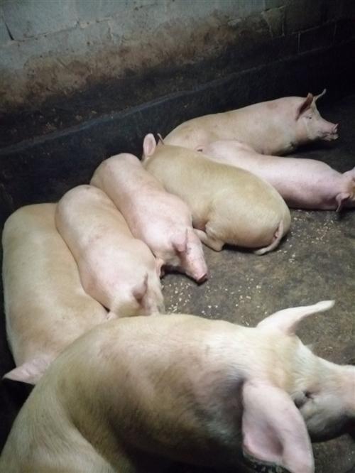家有大豬十足頭,再堡子,肉質佳,飼養好,肉感豐厚