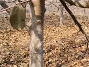 出售六年生,树径十公分以上富士、斗南、中秋王树苗1500棵,密植疏密,无任何病害,机不可失,失不再来...