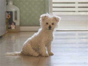 亲戚给的泰迪熊(应该是比熊),当时花700买的。现在4个月了,公的。三针疫苗买好了 。狗狗是活泼可爱...