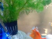 因为现在养了热带鱼,有红狮一条出手!仅限嘉峪关酒泉自提