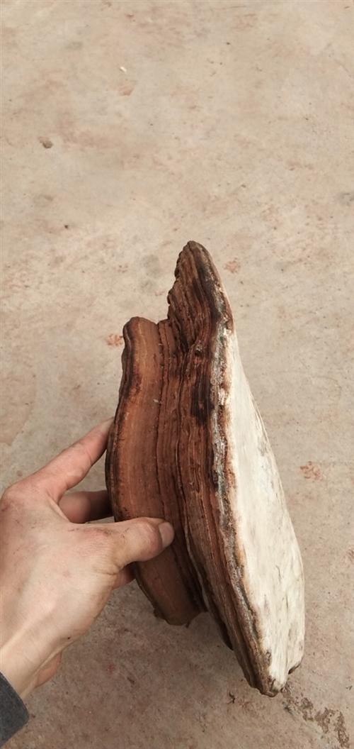 野生樹舌靈芝,大的三斤多,35公分。上次進山撿野生香菇撿的。