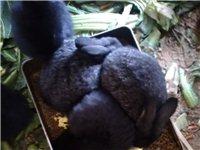 自家大兔兔下的崽,已經會吃飼料了。有想要的親們可以打電話洽談。
